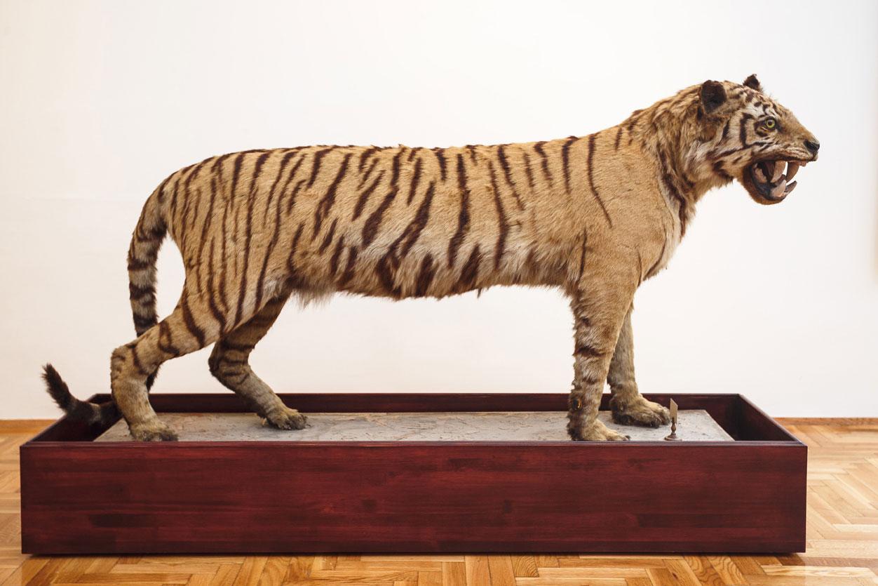 Ejemplar naturalizado de tigre asiático